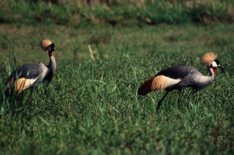 Bird_crowned_crane (2)
