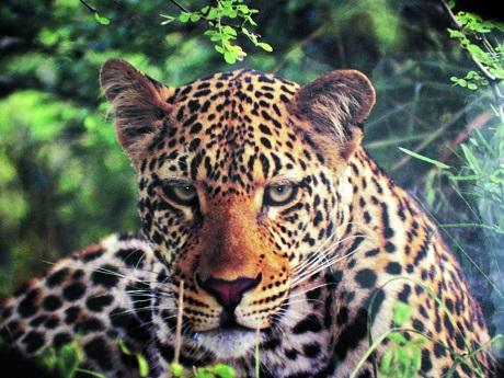 ani_Leopard_131.jpg