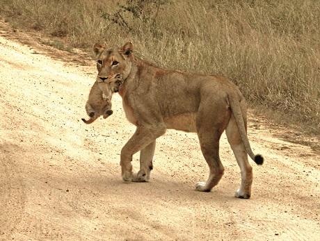 Kruger_Lioness_Cub