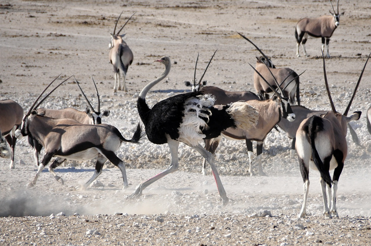 namib gemsbok and ostrich