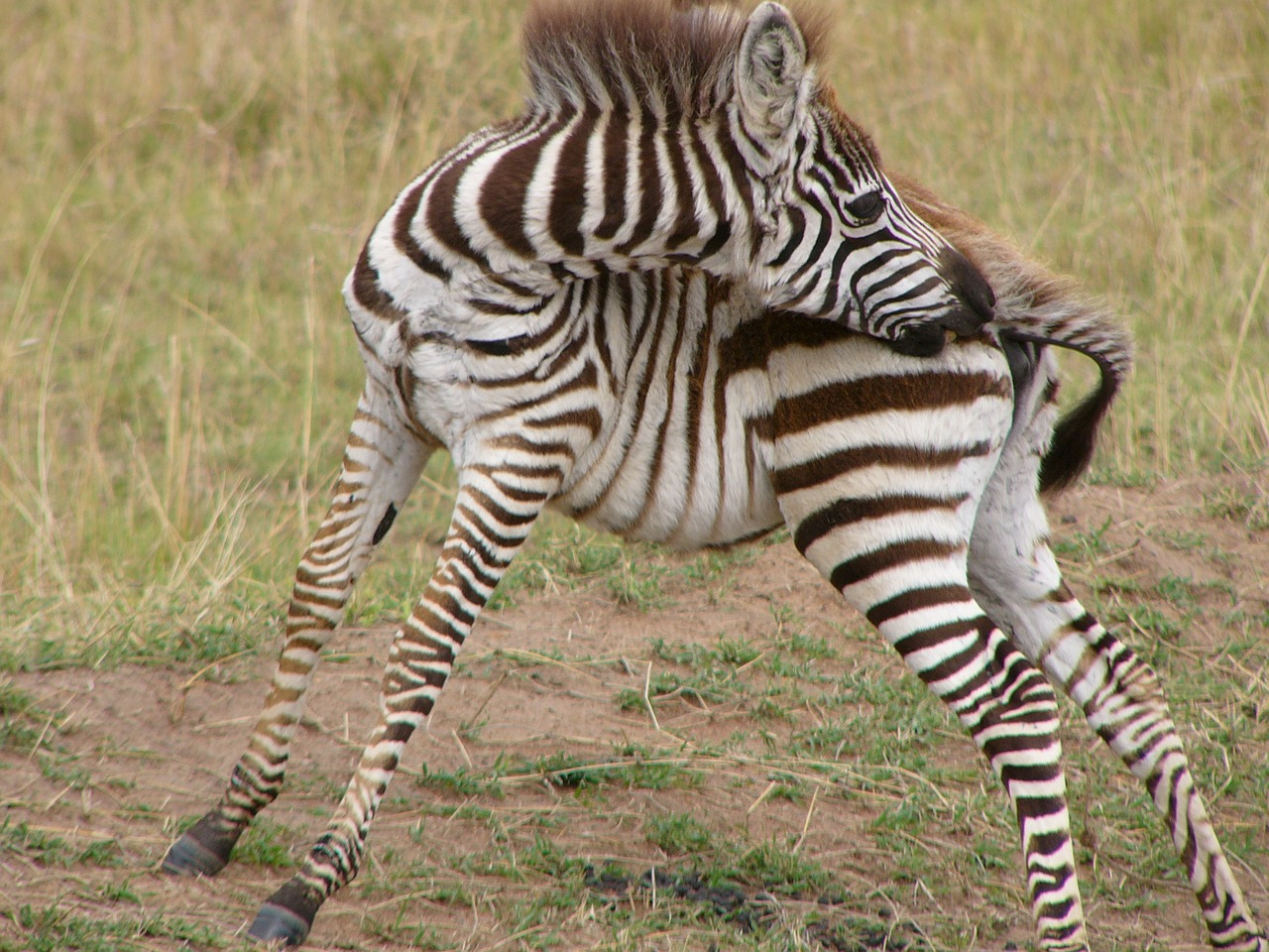 zebra-253503_1280