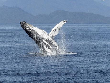 Hermarnus Whale