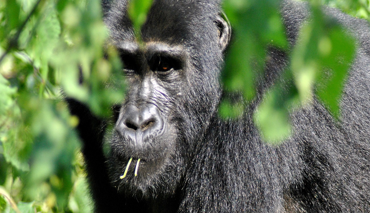 Trekking the Mountain Gorilla's – An Adventure Of A Life Time!