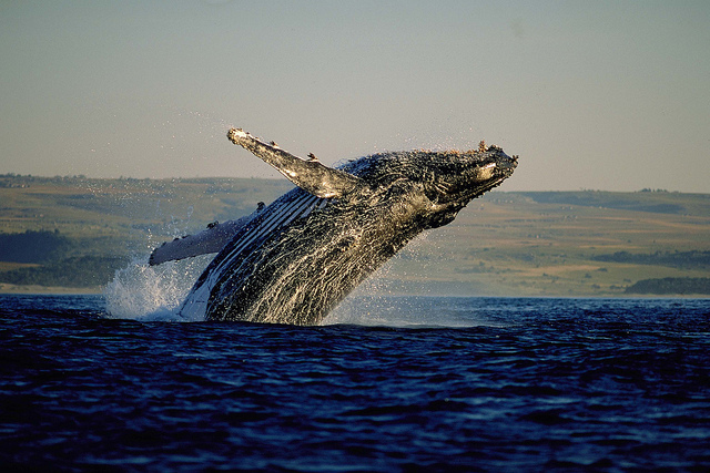 Whale Watching in Hermanus, Western Cape