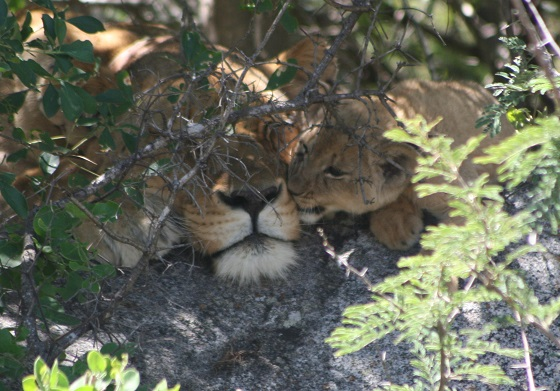 zimbabwe-athena-cubs-3-lion-project