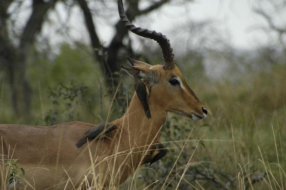 impala-acacia-africa