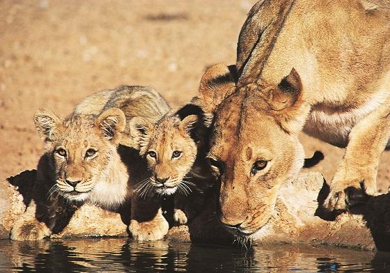 lionesscubs_1