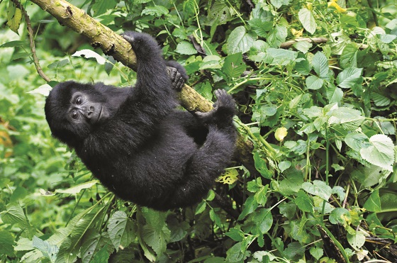 uganda-acacia-africa-18-day-mountain-gorillas-to-the-mara