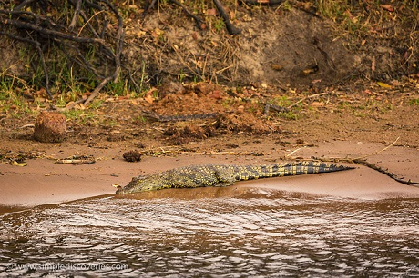 Known for their ambush skills, an African crocodile rests along the shore of the Chobe River.