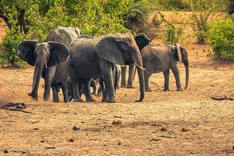 Chobe National Park in Botswana hosts one of the densest elephant populations in the world.