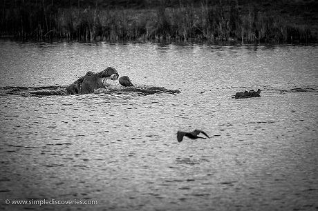 Two hippos fight along the Chobe River in Botswana's Chobe National Park.