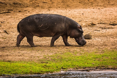 A rare sighting of a hippo out of water in Chobe National Park.
