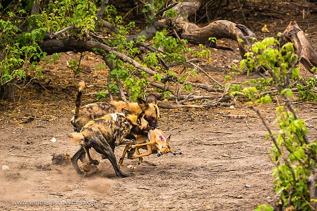 Endangered African Wild Dogs take down a young impala in Chobe National Park.
