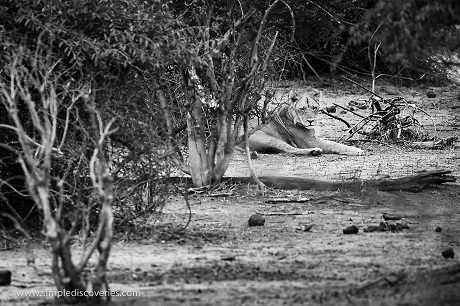 A lion rests in the shade at Botswana's Chobe National Park.