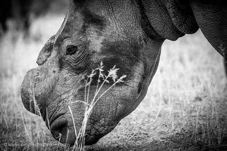 Despite proactively de-horning rhinos, they are still poached for any remaining traces of horn.