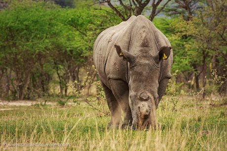 A de-horned White Rhino grazes through Matopos National Park.