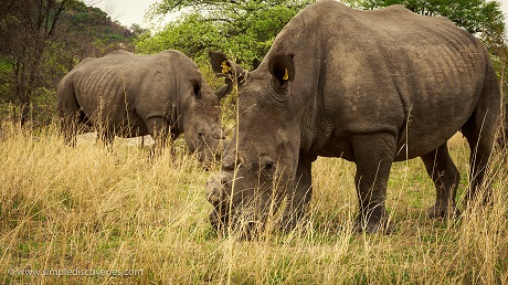 Watching rhinos graze in Matopos, it's hard to imagine they're facing such a brutal extinction.