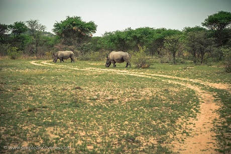 A pair of African White Rhinos grazes before us in Zimbabwe's Matopos National Park.