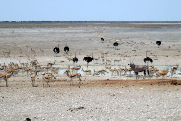 kudu-impala-ostrich