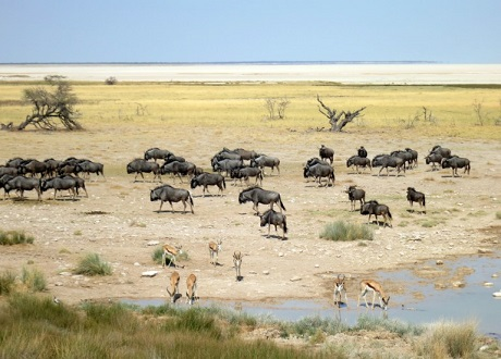 wilderbeest-impala-salt-pan