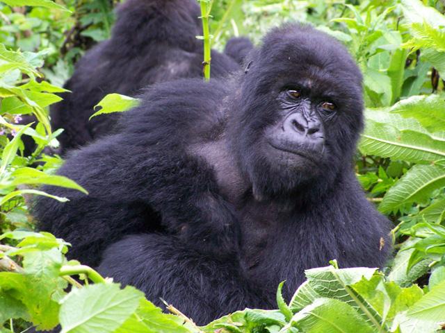 Acacia Safari to the Gorillas