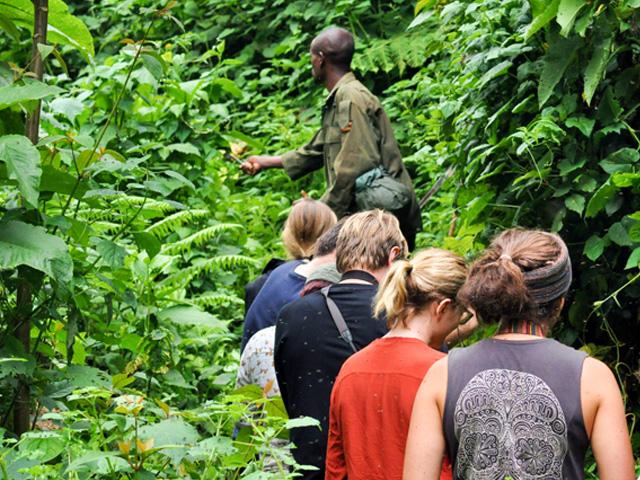 Acacia Gorilla Trekking Bwindi Uganda