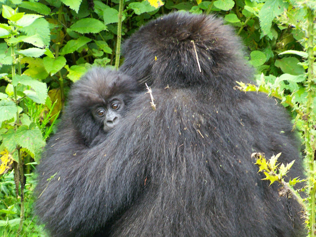 Mother And Baby Silverback Gorillas