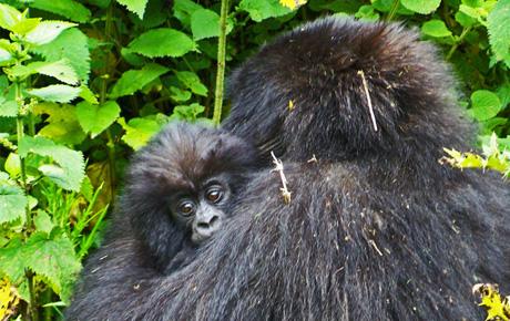 Silverback_Gorilla_Bwindi_NP_Uganda_No4_460x290