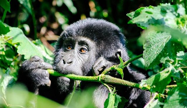 Africa overland safari Uganda Gorilla trek