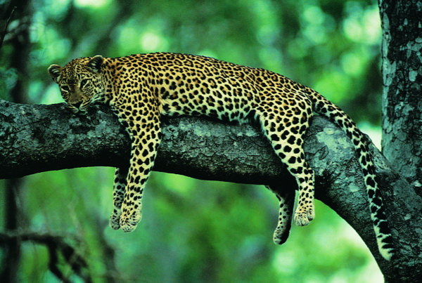 Copy of Leopard_9