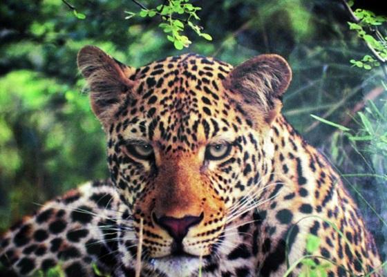 ani_Leopard_13