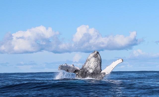 Humpback Whale Breaching_DyerIslandCruises - credit Dyer Island Cruises