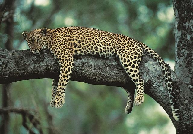 Leopard_9