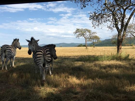 Mlilwane_Swaziland_zebra