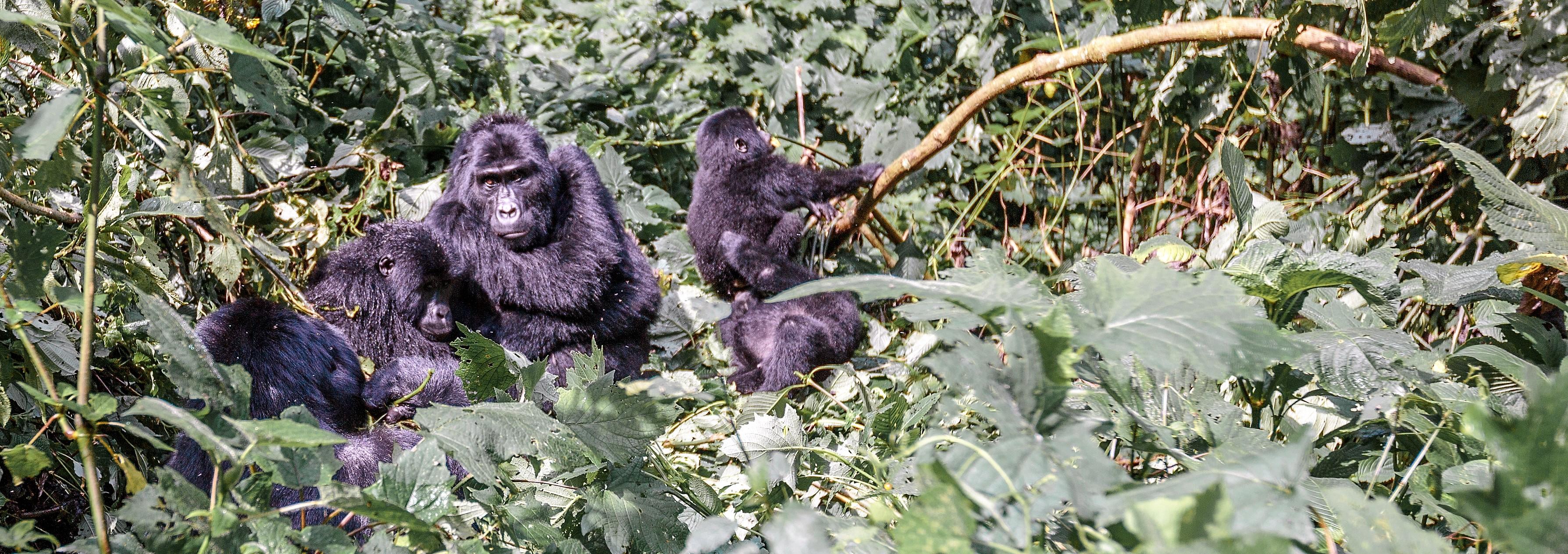 It's All Go For Gorilla Trekking!