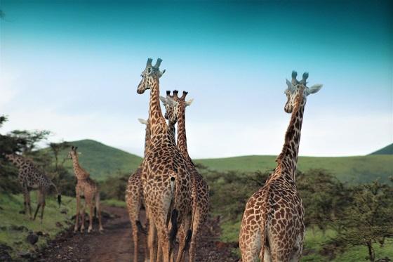Serengeti and Ngorongoro NP game drive and wildlife (30)
