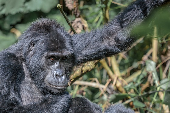Mountain Gorilla Trek_Uganda (47)