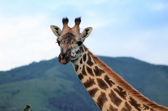 Serengeti and Ngorongoro NP game drive and wildlife (33)